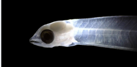 Florida Tech Researchers in Cuba Capture First-Ever Footage of Larval Bonefish